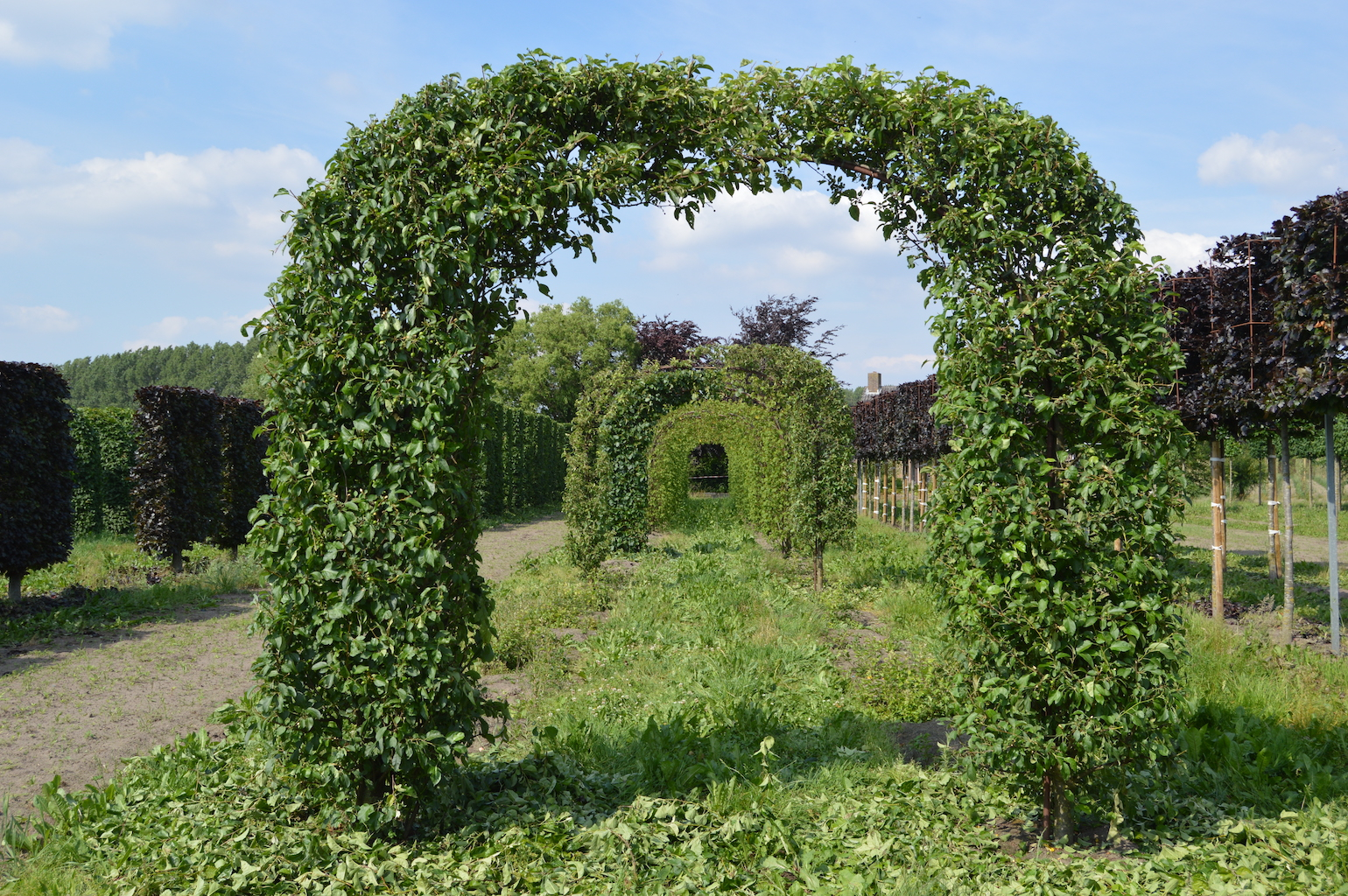 Malus 'Evereste' topiary arch
