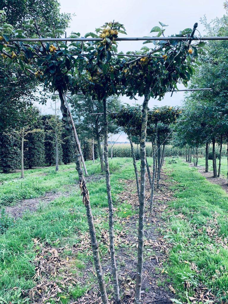 Malus 'Golden Hornet' multi-stem (3 stem) roof-form tree