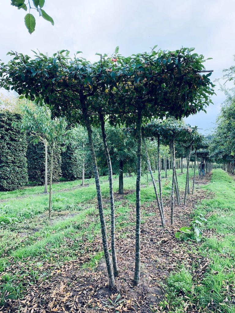 Malus 'Red Sentinel' multi-stem (3 stem) roof-form tree