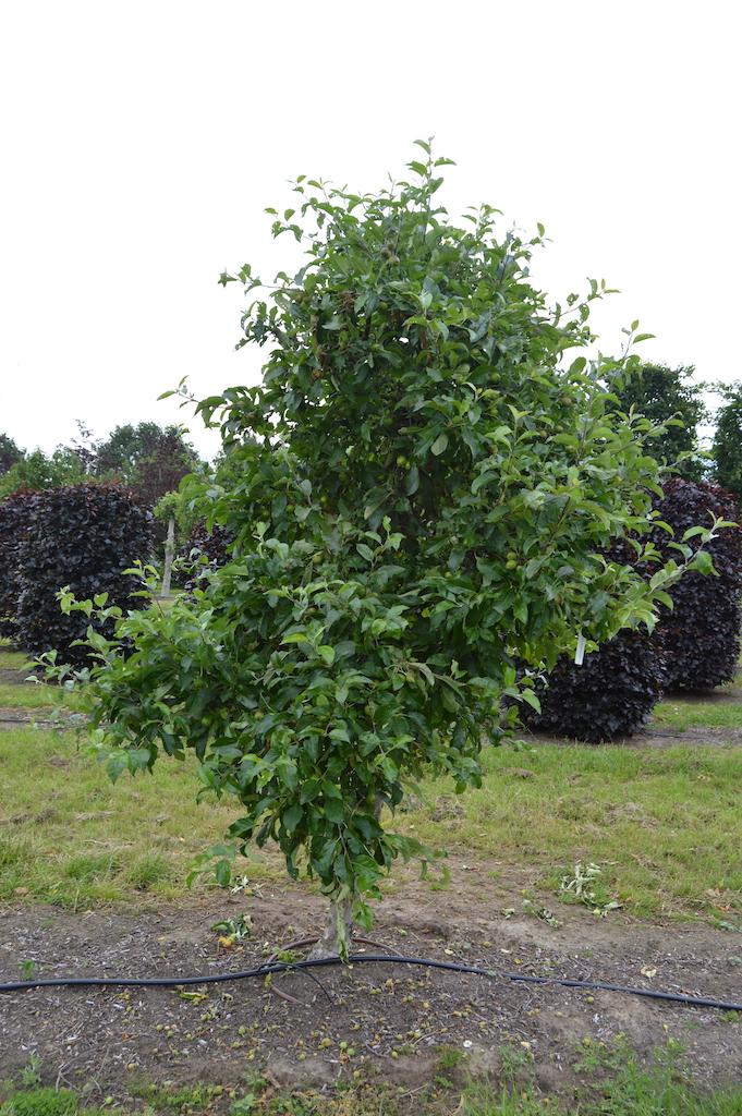 Malus domestica 'Delbarestivale' (Apple tree) mature specimen (2)