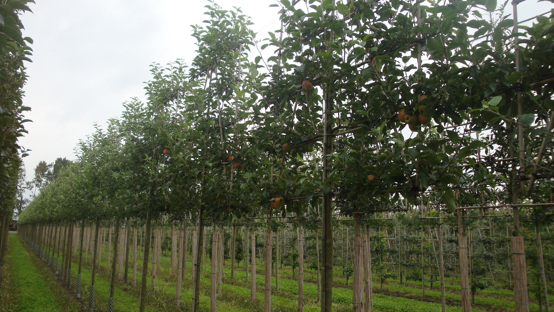 Malus domestica 'Elstar' espalier apple trees 18-20 grade