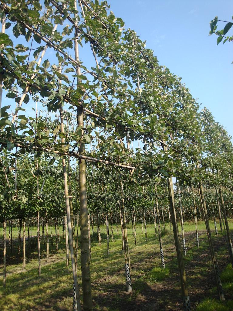Malus domestica 'Elstar' espalier apple trees 20-25 grade