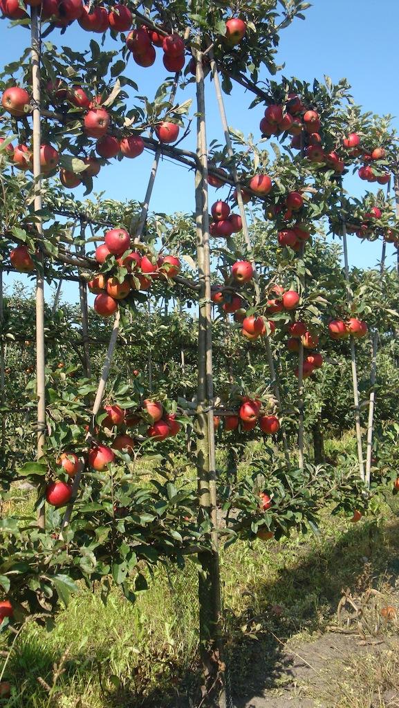 Malus domestica 'Elstar' low espalier apple tree 14-16 grade