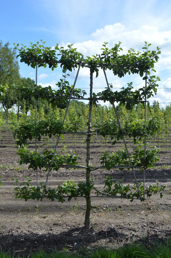 Malus domestica 'Gravenstein' low pleached Apple tree