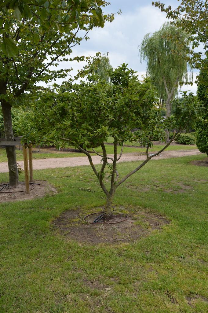 Mespilus germanica (Medlar) multi-stem tree