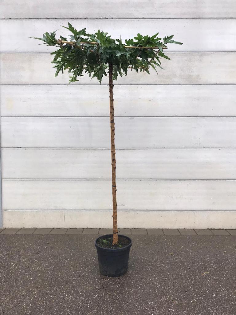 Morus alba 'Fruitless' roof-form 14-16, 230cm clear stem, frame size 120cm x 120cm