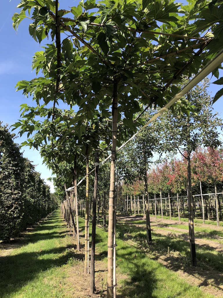 Morus alba 'Fruitless' roof form Mulberry tree