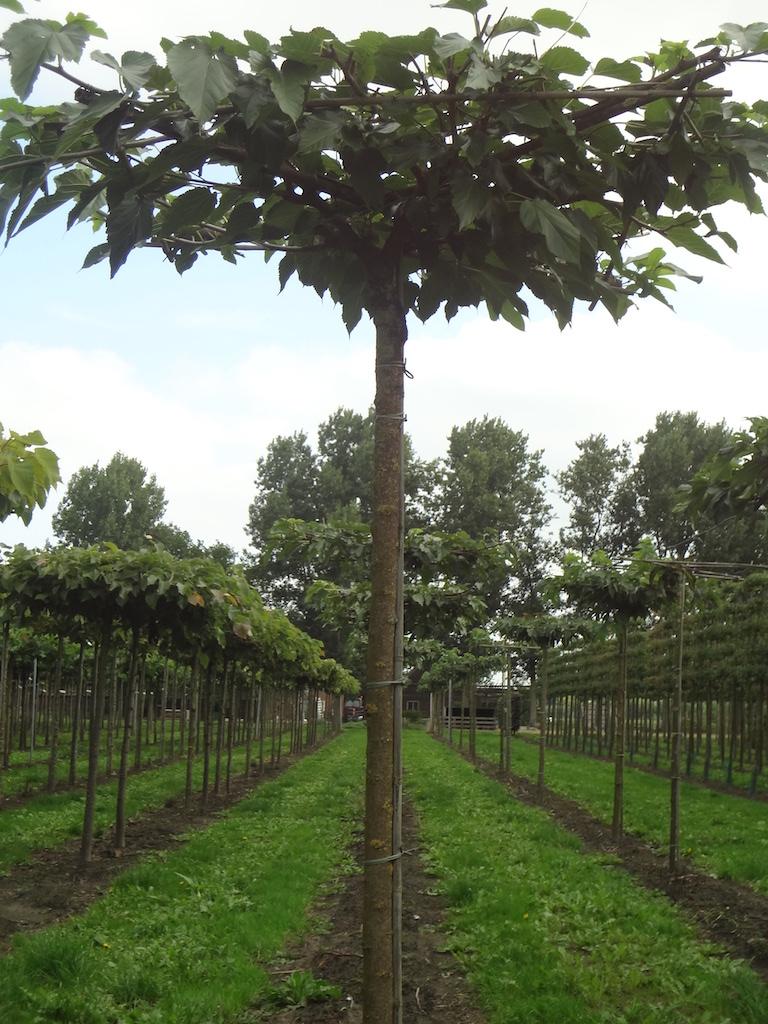 Morus alba 'Fruitless' roof form Mulberry trees 18-20 grade
