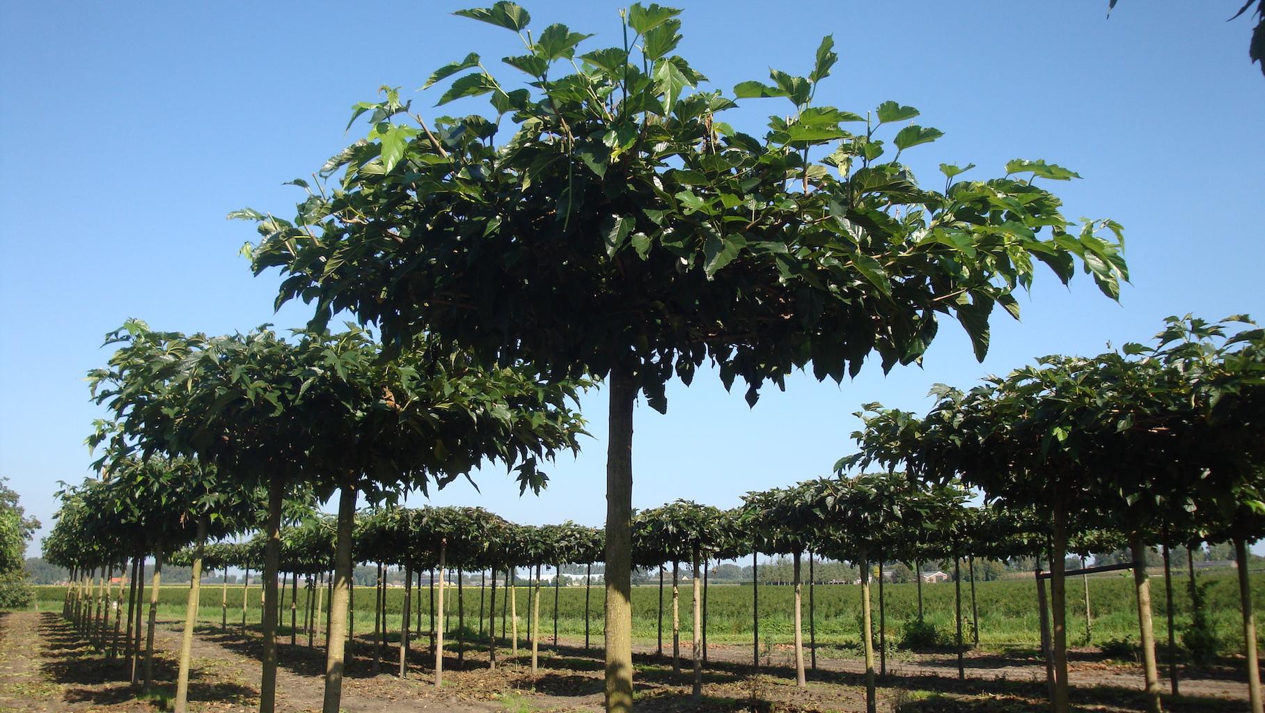 Morus alba 'Fruitless' roof form Mulberry trees 20-25 grade