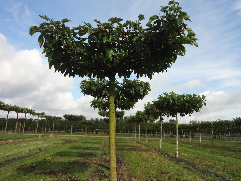 Morus alba 'Fruitless' roof form Mulberry trees 30-35 grade