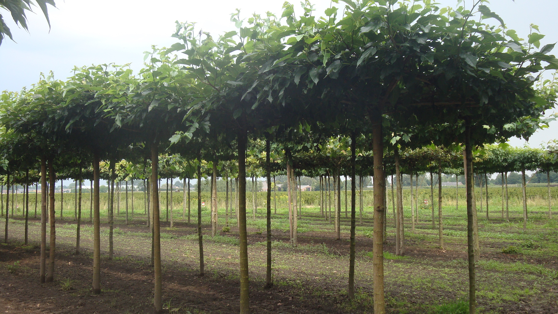 Morus alba 'Fruitless' roof form trees 20-25 grade