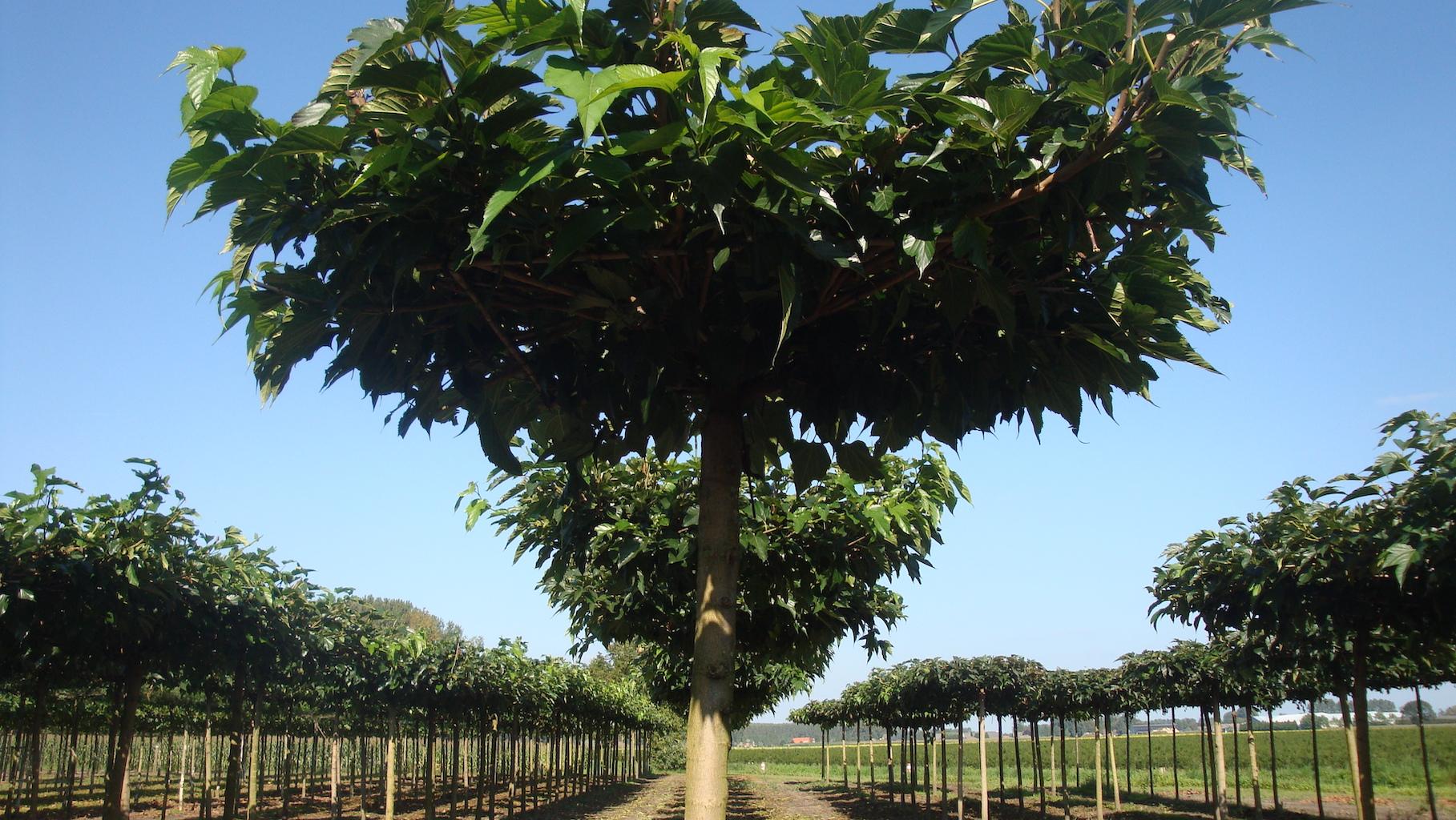 Morus alba 'Macrophylla' roof form Mulberry tree 20-25 grade