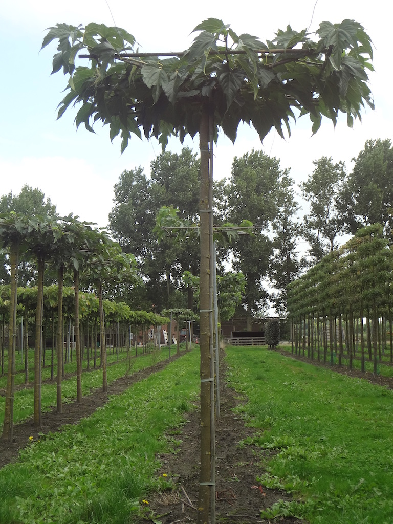 Morus alba 'Macrophylla' roof form Mulberry trees 18-20 grade