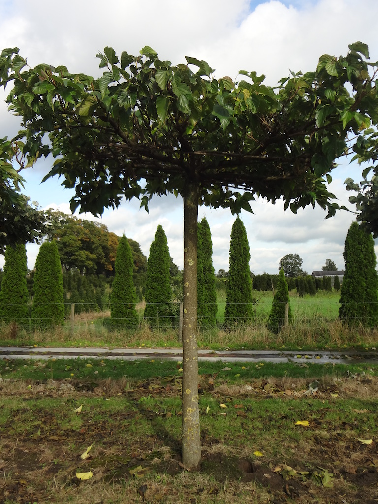 Morus alba 'Macrophylla' roof form Mulberry trees 35-40 grade specimens