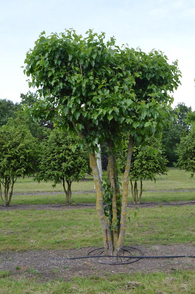 Morus alba (Mulberry) multi-stem tree
