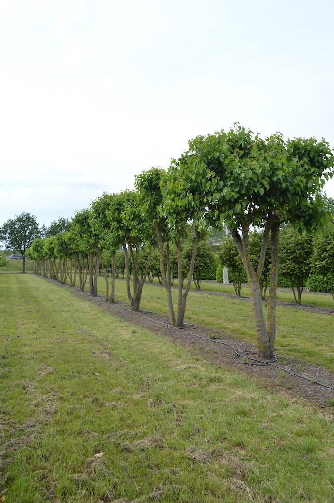 Morus alba (Mulberry) multi-stems (1)