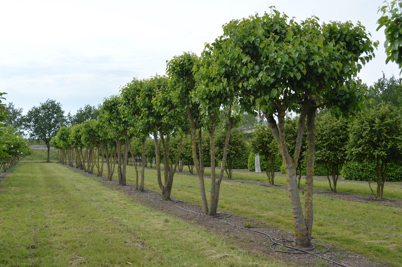 Morus alba (Mulberry) multi-stems (2)
