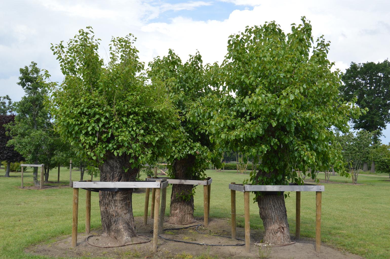 Morus alba (Mulberry) pollarded trees (3)