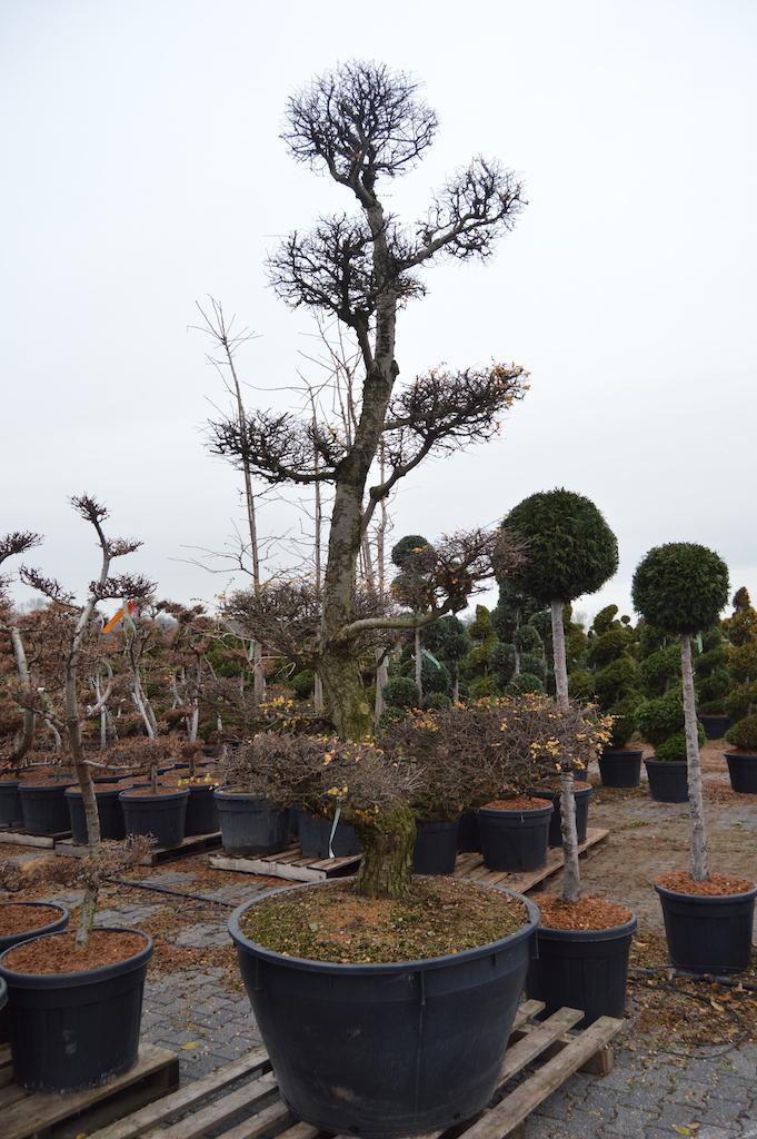Nothofagus antarctica cloud pruned tree 300-350cm