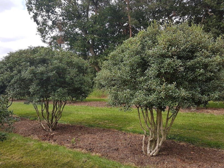 Osmanthus burkwoodi multi-stem 250cm+ tall, canopy diameter 200-250cm+