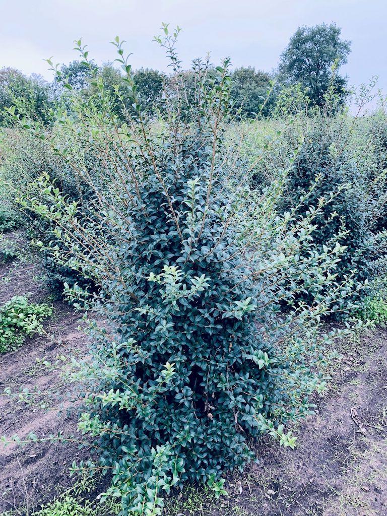 Osmanthus burkwoodii hedge plants