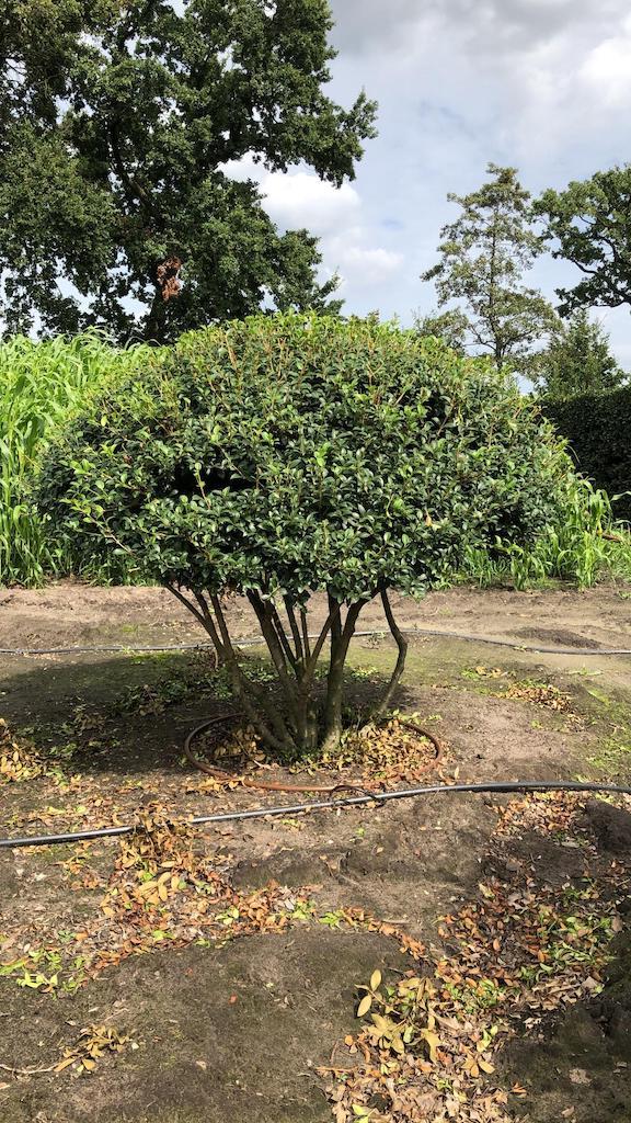 Osmanthus burkwoodii multi-stem 150cm (h), diameter 175cm
