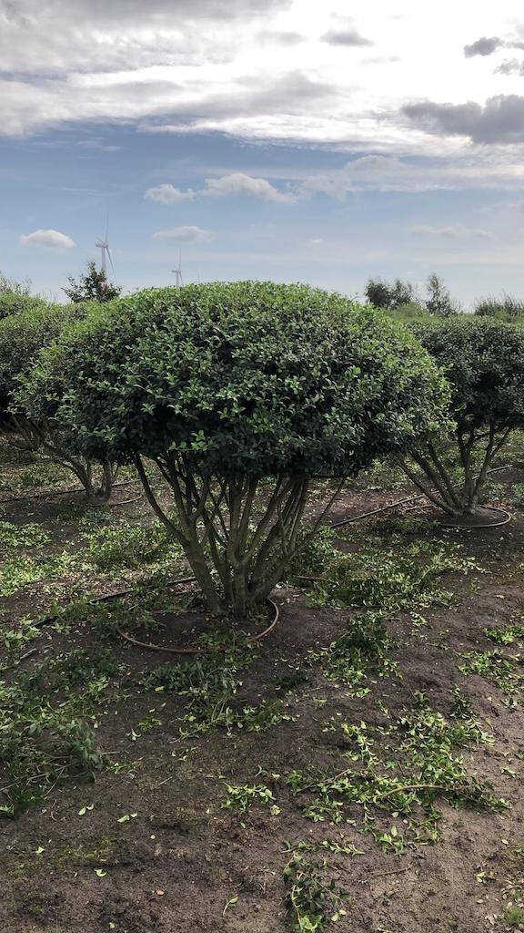 Osmanthus burkwoodii multi-stem 175cm (h), diameter 175-200cm