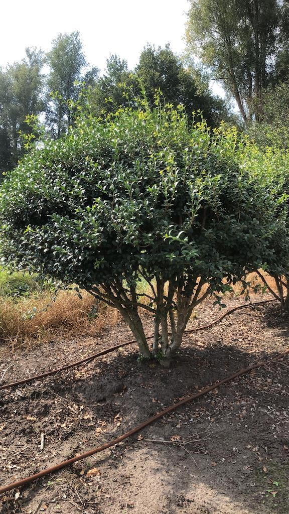 Osmanthus burkwoodii multi-stem umbrella, 140cm tall, 125cm wide