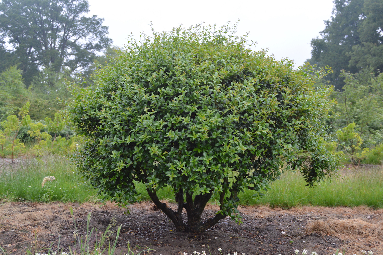 Osmanthus burkwoodii multi-stem