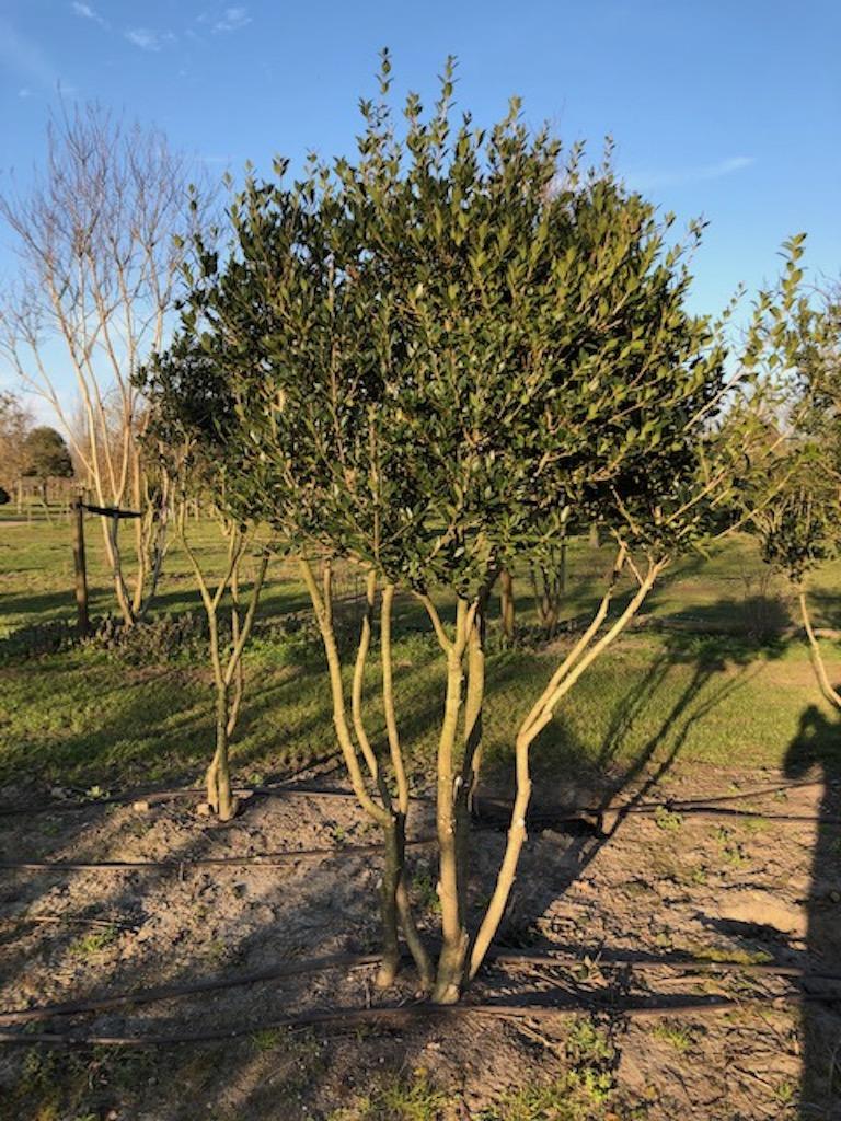 Osmanthus heterophyllus multi-stem 200-250cm (60-80cm wide) wrb (2)