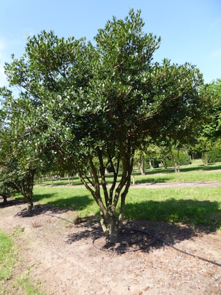 Osmanthus heterophyllus multi-stem 250-300cm, 300cm diameter crown (2)