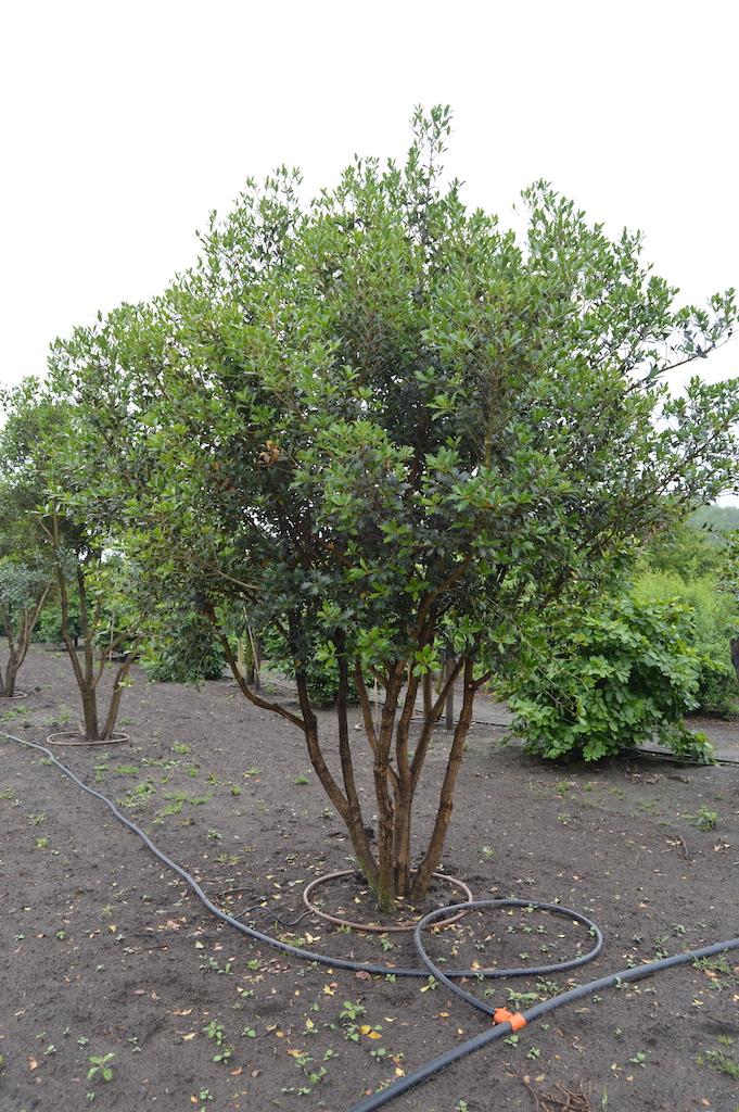 Osmanthus heterophyllus multi-stem specimen plant (2)