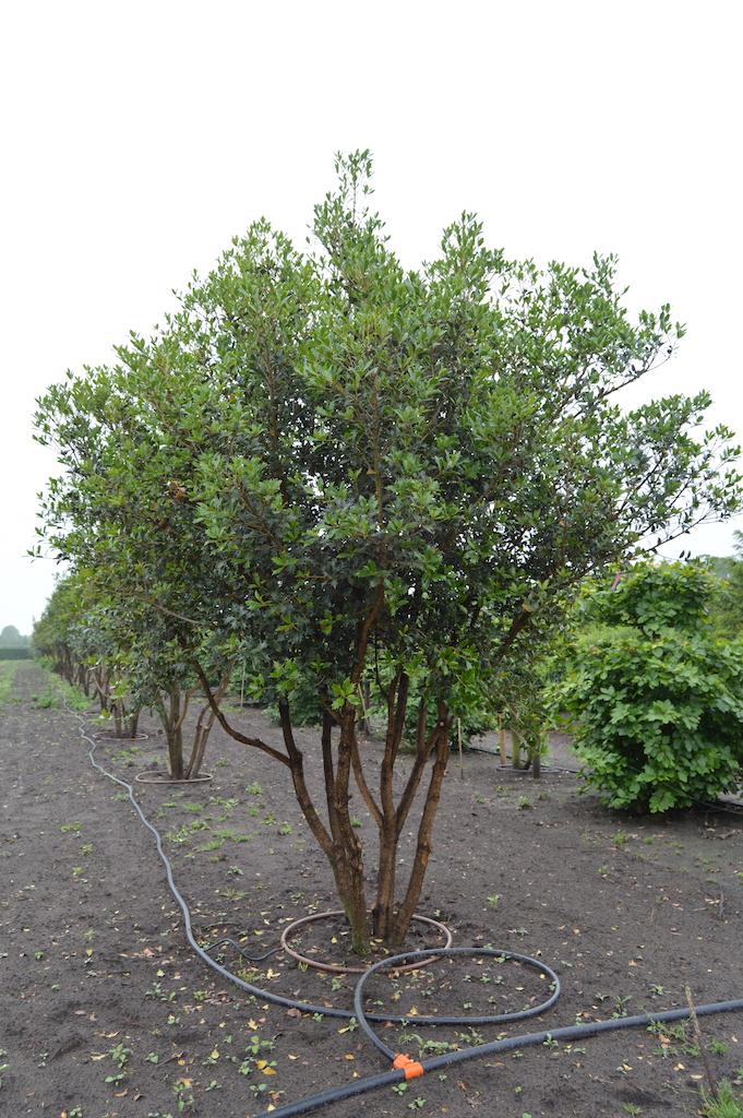 Osmanthus heterophyllus multi-stem