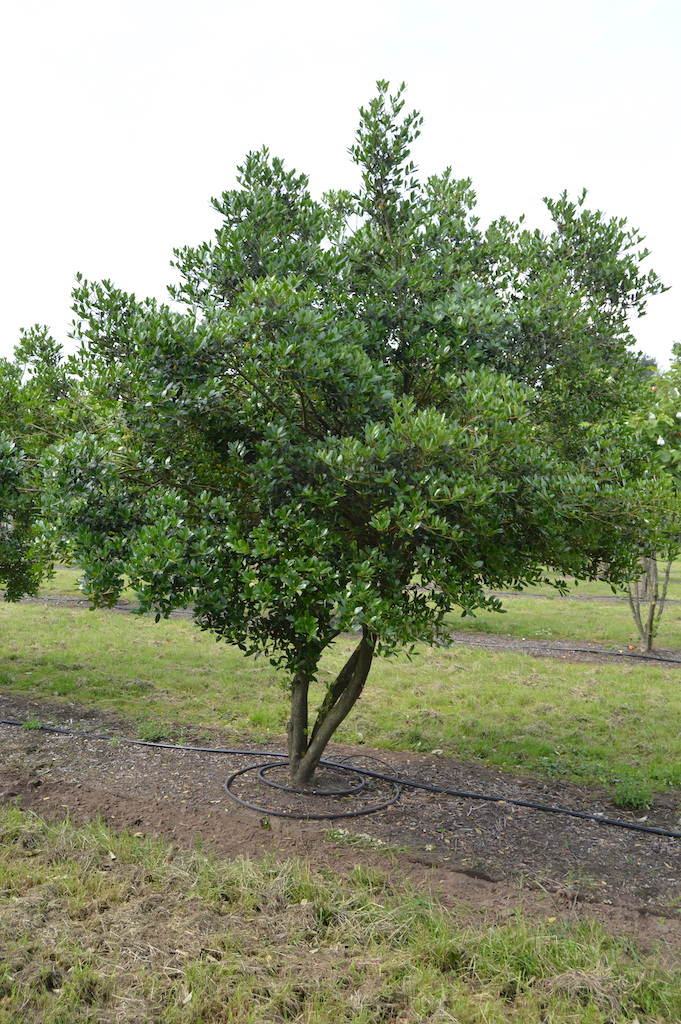 Osmanthus heterophyllus specimen