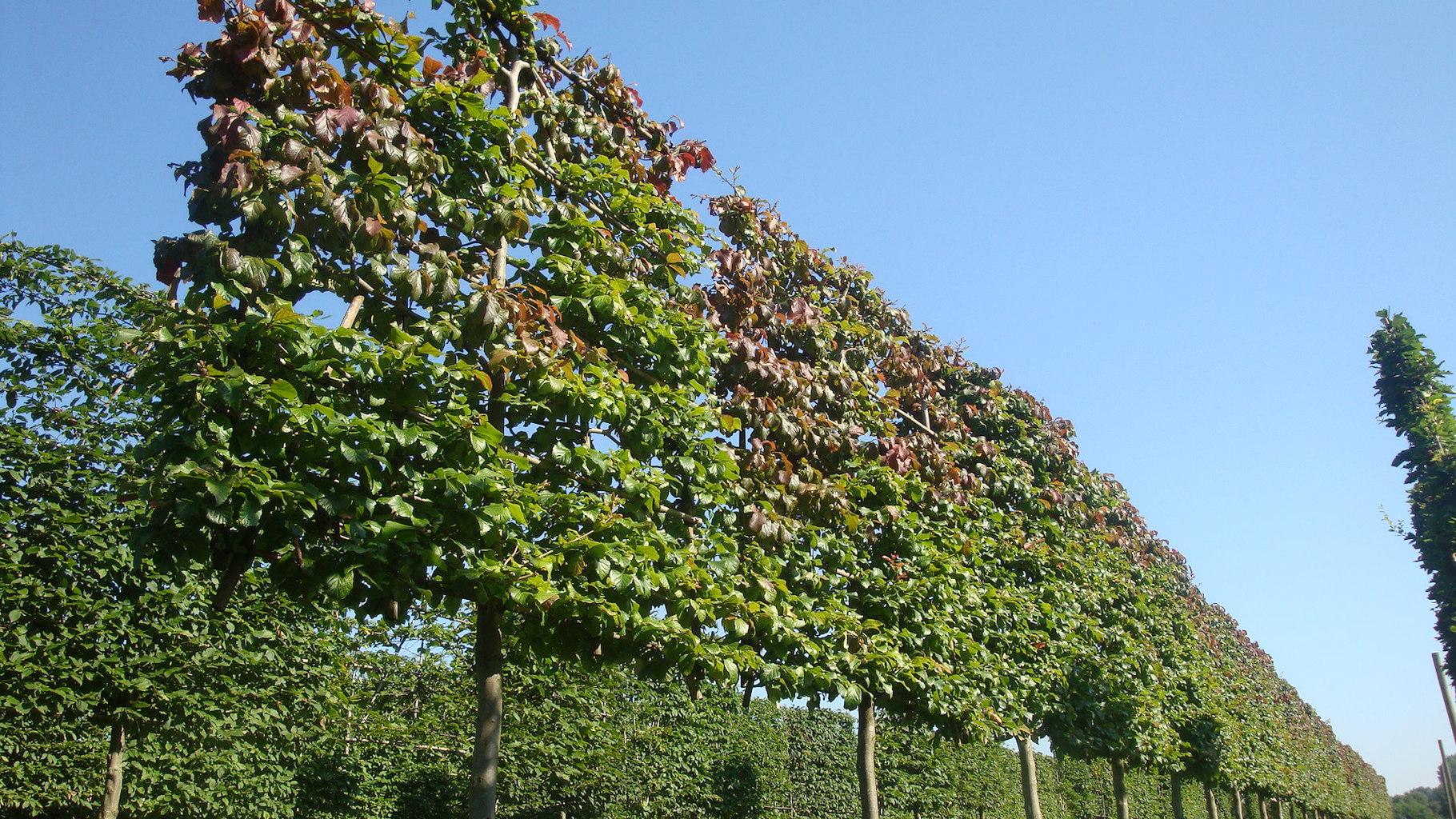 Parrotia persica (Persian Ironwood) pleached screens 20-25 grade