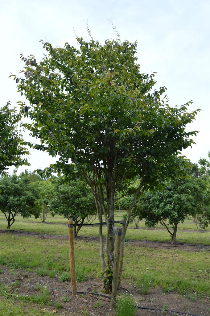 Parrotia persica 'Vanessa' multi-stem tree