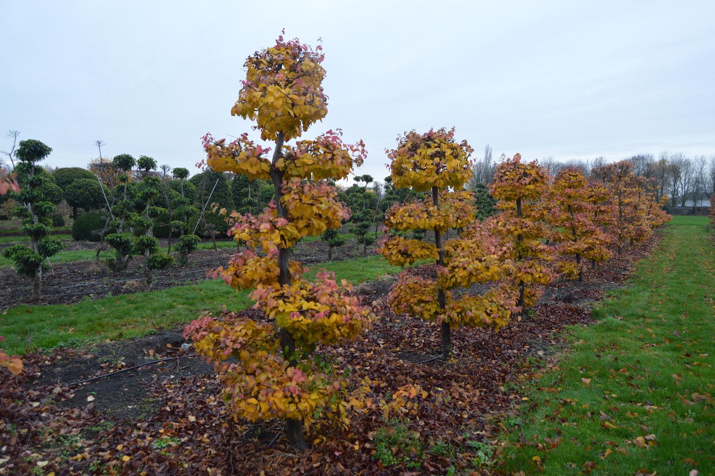 Parrotia persica cloud pruned trees