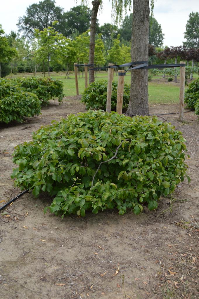 Parrotia persica domes (2)