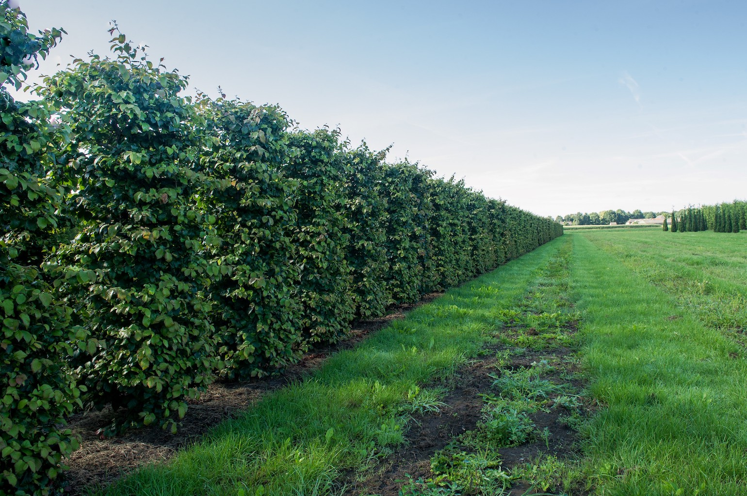 Parrotia persica instant hedge plants in the field