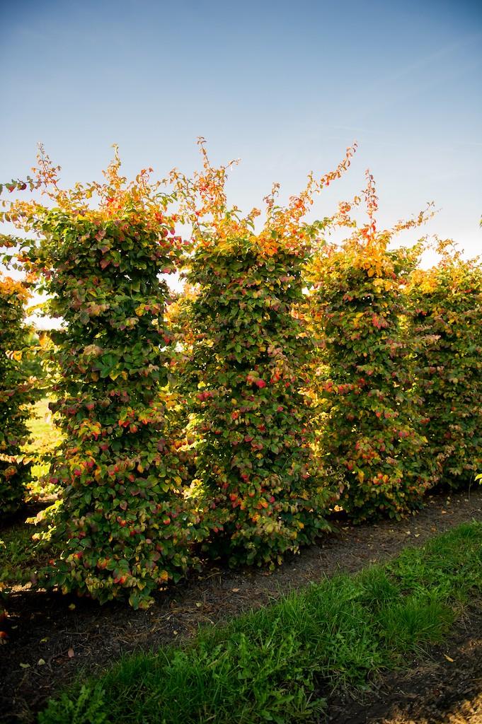 Parrotia persica instant hedge plants