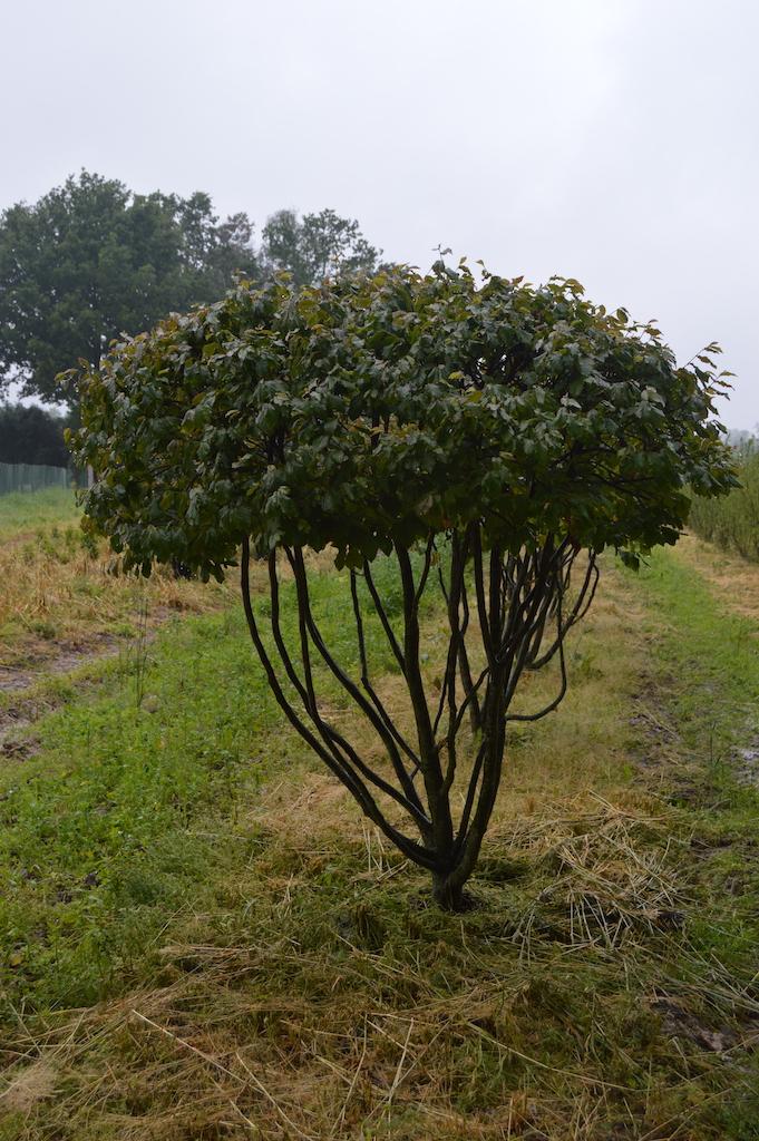 Parrotia persica multi-stem form