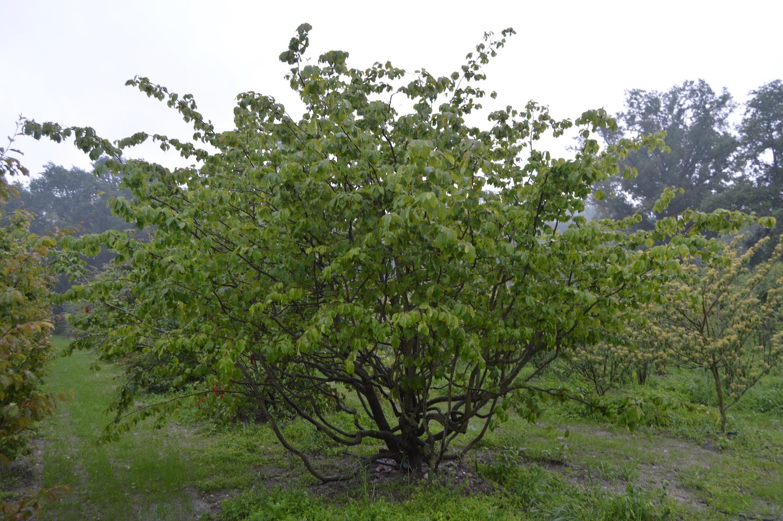 Parrotia persica multi-stem specimen