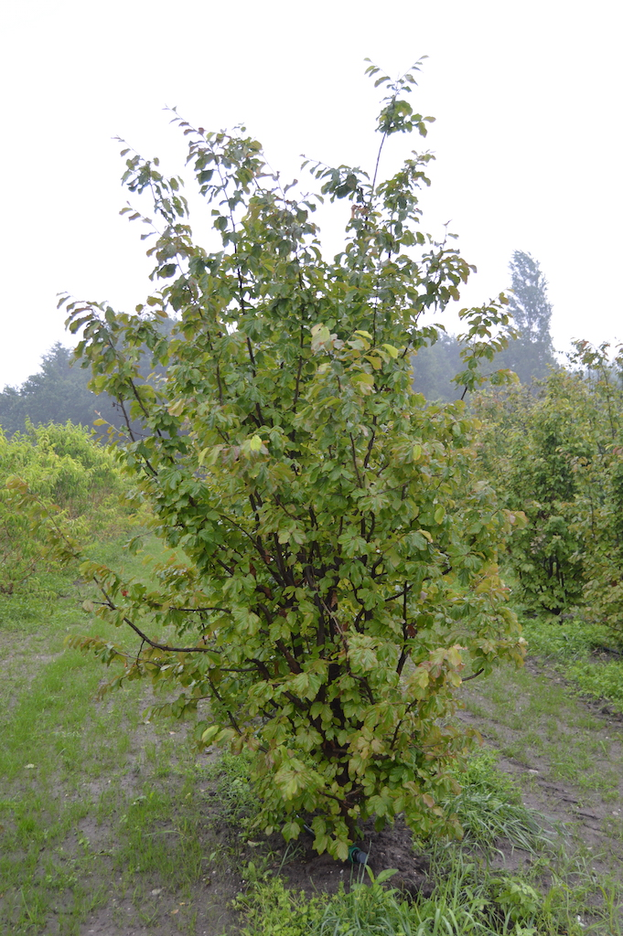 Parrotia persica multi-stem