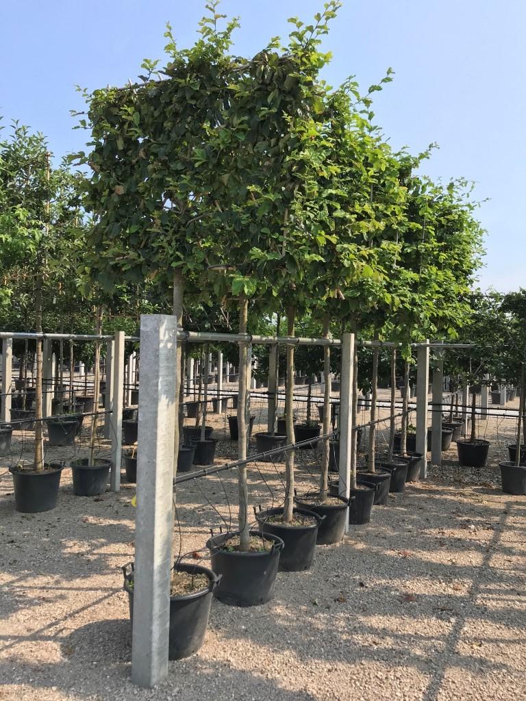 Parrotia persica pleached 16-18