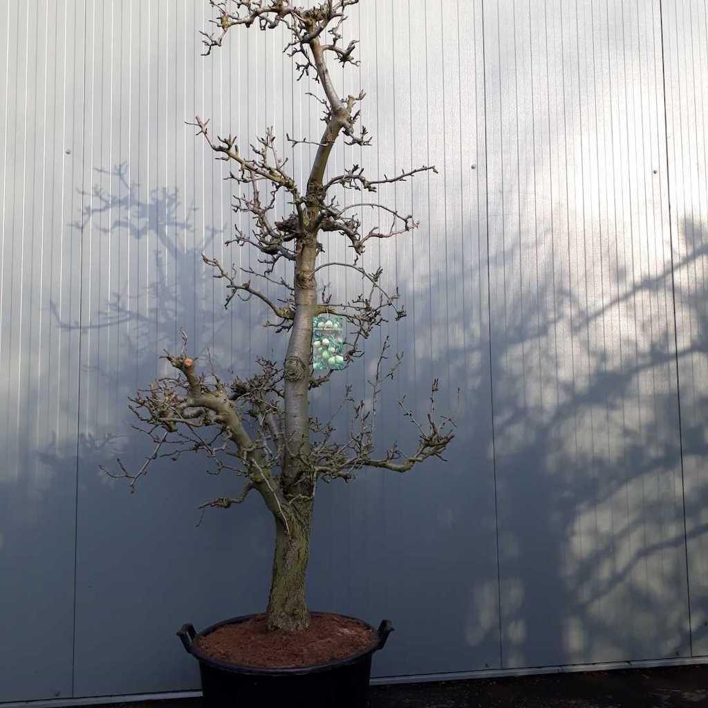 Pear - Pyrus communis 'Doyenne du Comice' 40+ C130 225-250cm