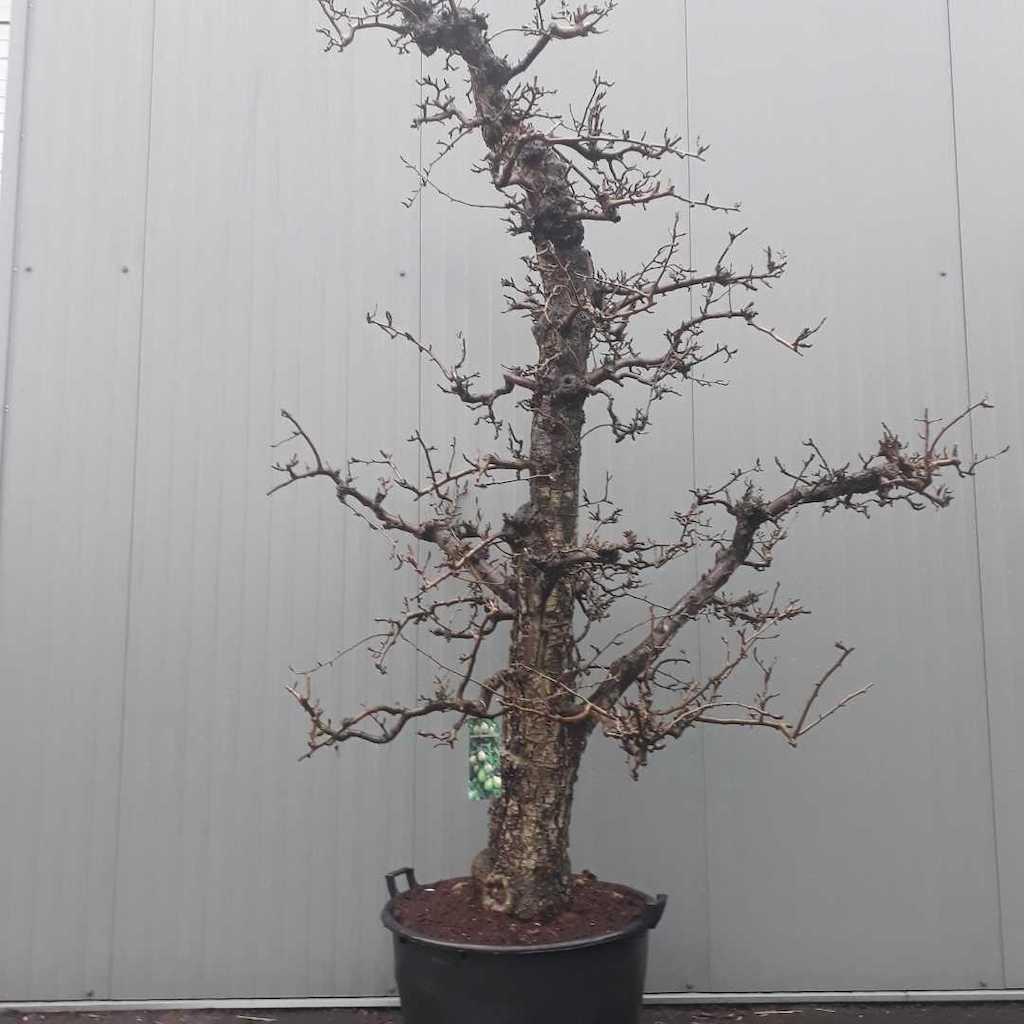 Pear - Pyrus communis 'Doyenne du Comice' 60-70 C160 ltr 225-250cm