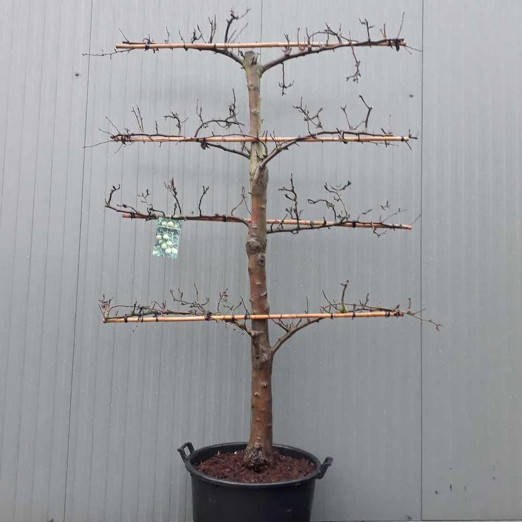 Pear - Pyrus communis 'Doyenne du Comice' espalier 4 tier 30-40 220cm (h) x 150cm (w)