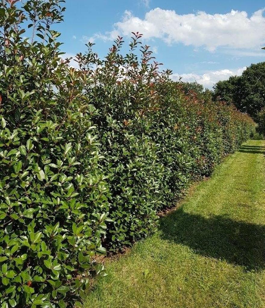 Photinia fraseri 'Red Robin' specimen hedge plants 250-300-350cm