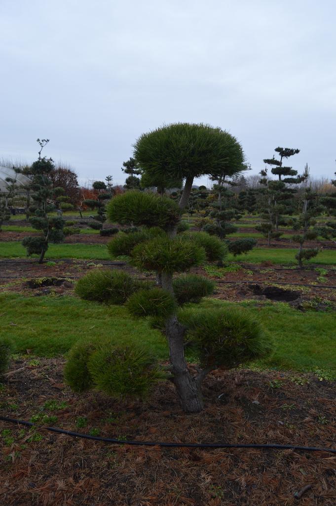 Pinus (Pine) specimen cloud pruned trees (11)