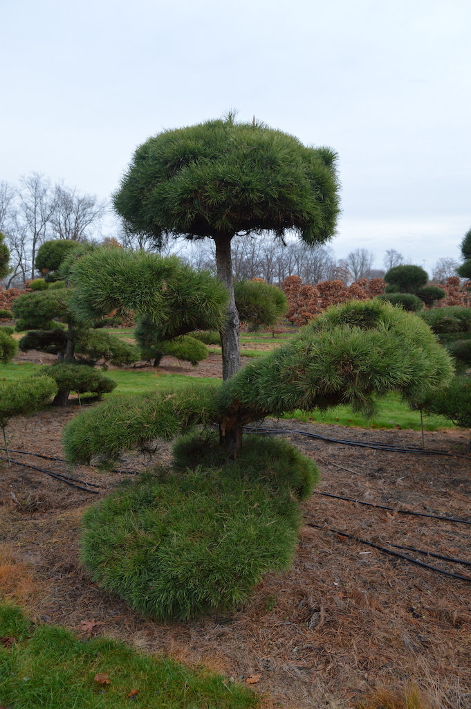 Pinus (Pine) specimen cloud pruned trees (12)
